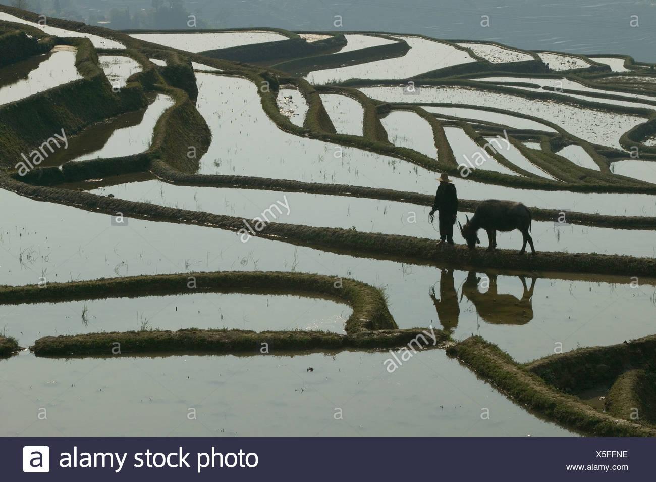 Ein Bauer geht mit seiner Wasserbüffel am Rande einer terrassierten Reisfelder, Provinz Yunnan, China. Stockbild