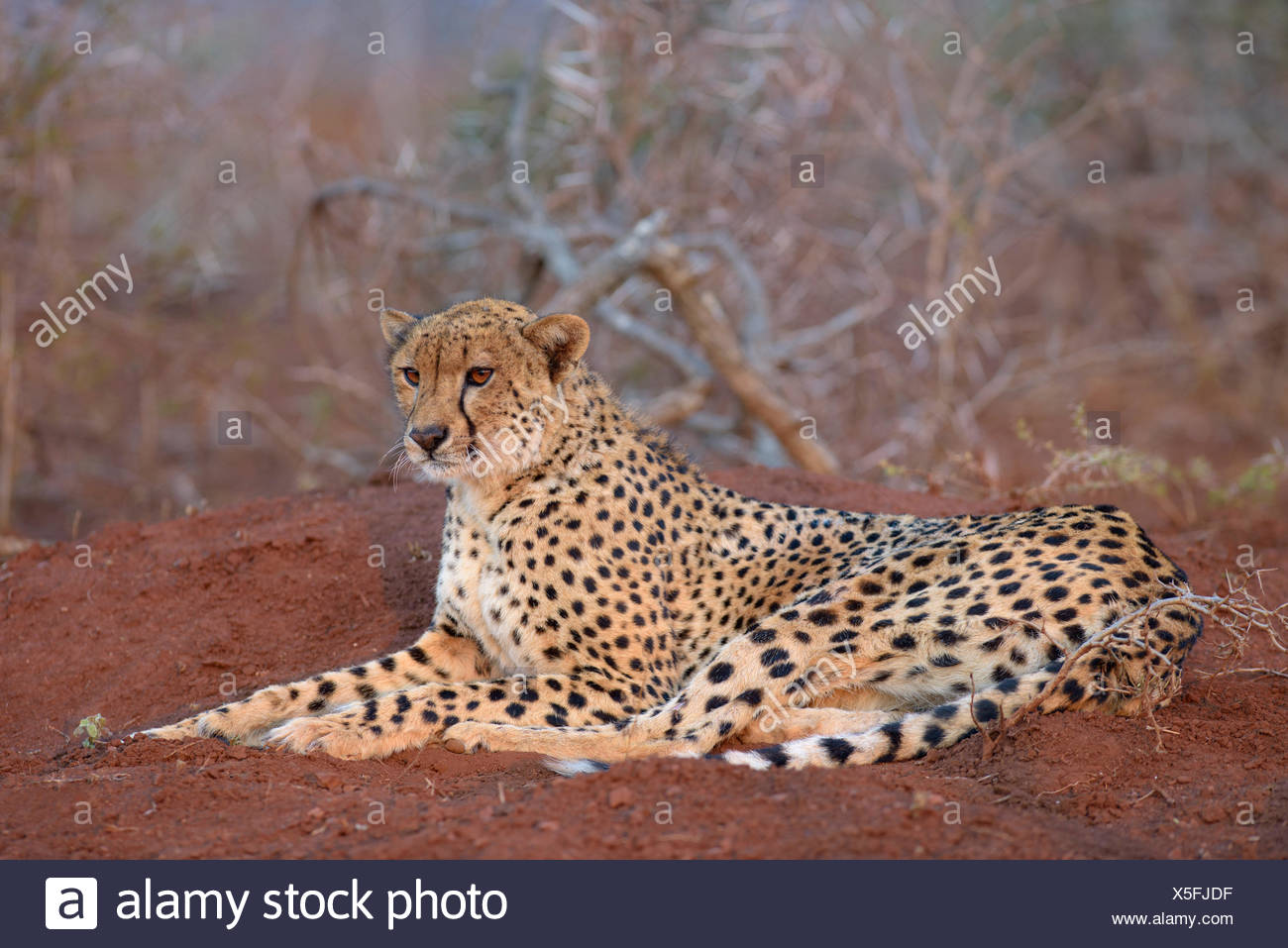Ruhenden Erwachsenen weiblichen Gepard (Acinonyx Jubatus), Zimanga Private Game Reserve, KwaZulu-Natal, Südafrika Stockfoto