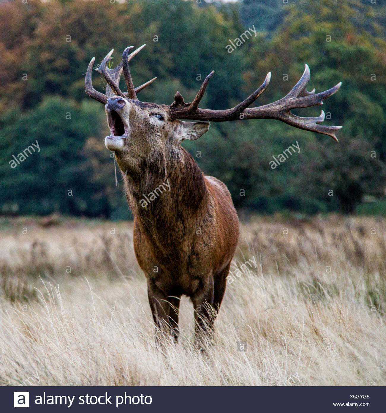 Hirsch, Blöken, Windsor Great Park, Berkshire, England, UK Stockbild