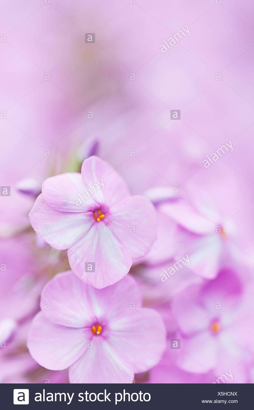 Phlox Maculata 'Alpha', Wiese-Phlox, rosa Thema. Stockbild