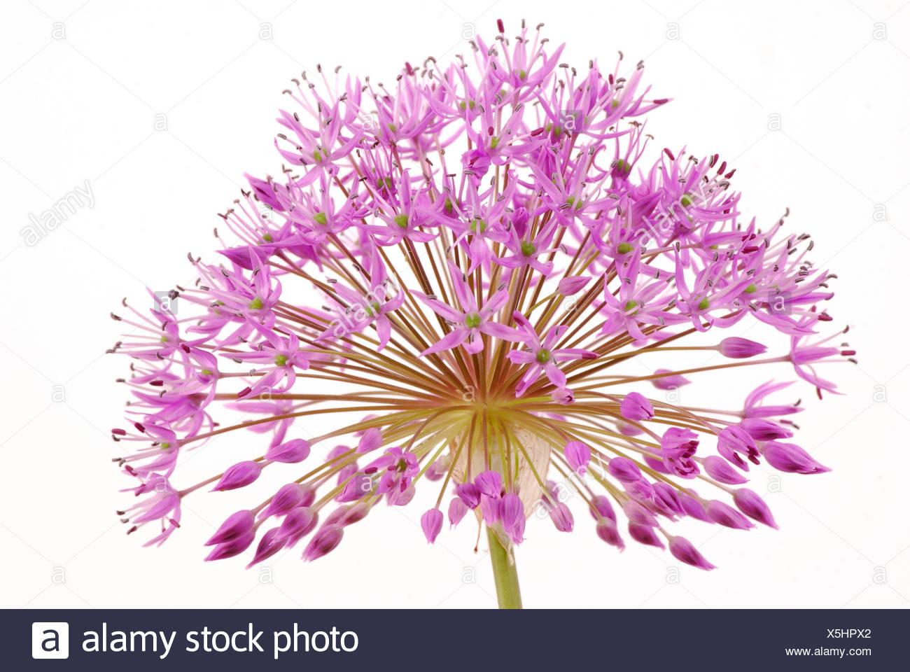 Dekorative Blütenstand von Allium Stockbild