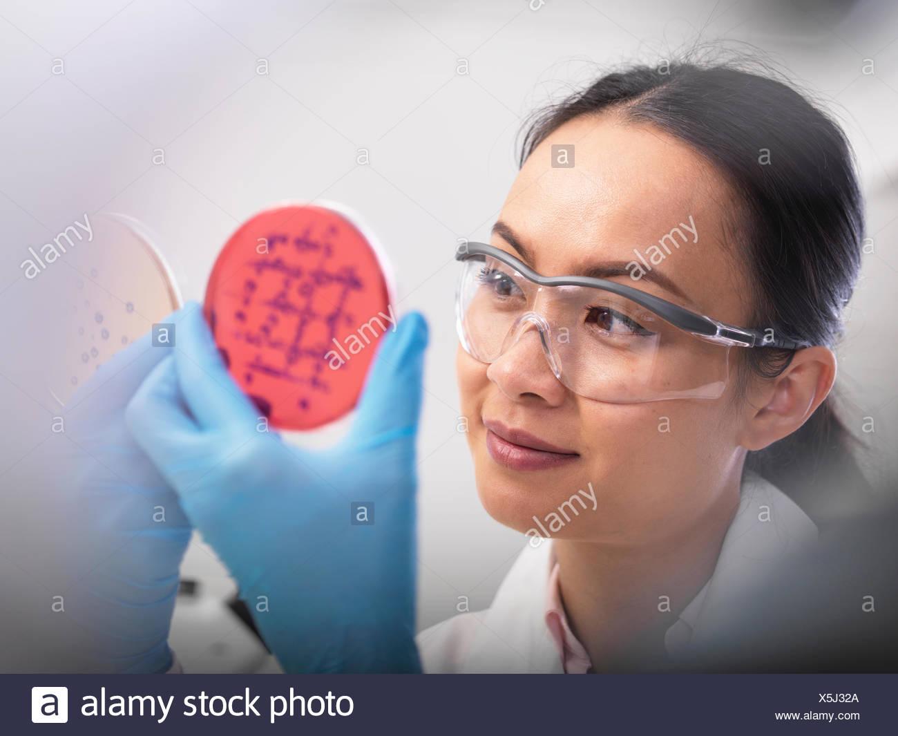 Wissenschaftler untersuchen mikrobiologische Kulturen in einer Petrischale Stockbild