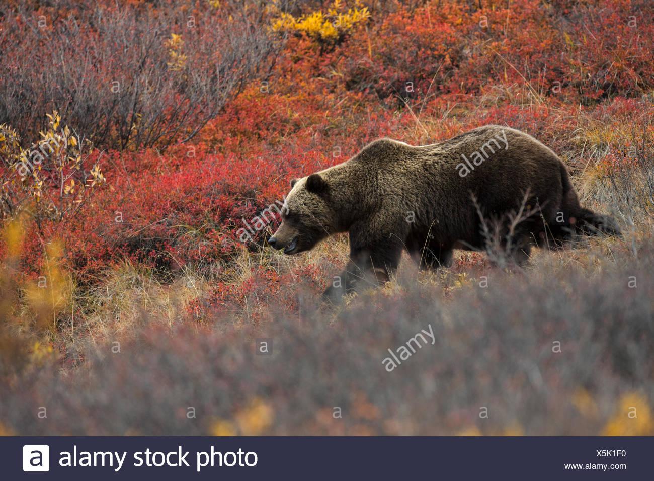 Ein Grizzlybär im Denali Nationalpark und Reservat. Stockbild
