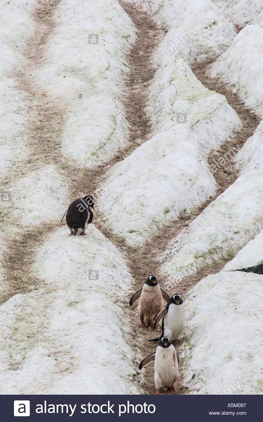 """Mehrere Gentoo Penguins, Pygoscelis Papua, Fuß die """"Pinguin-Highway"""" vom Rookery zum Meer auf Cuverville Island. Solche """"Straßen"""" sind Wege zur Vermeidung Einsinken in den Schnee von den Penguins verwendet verpackt. Stockbild"""