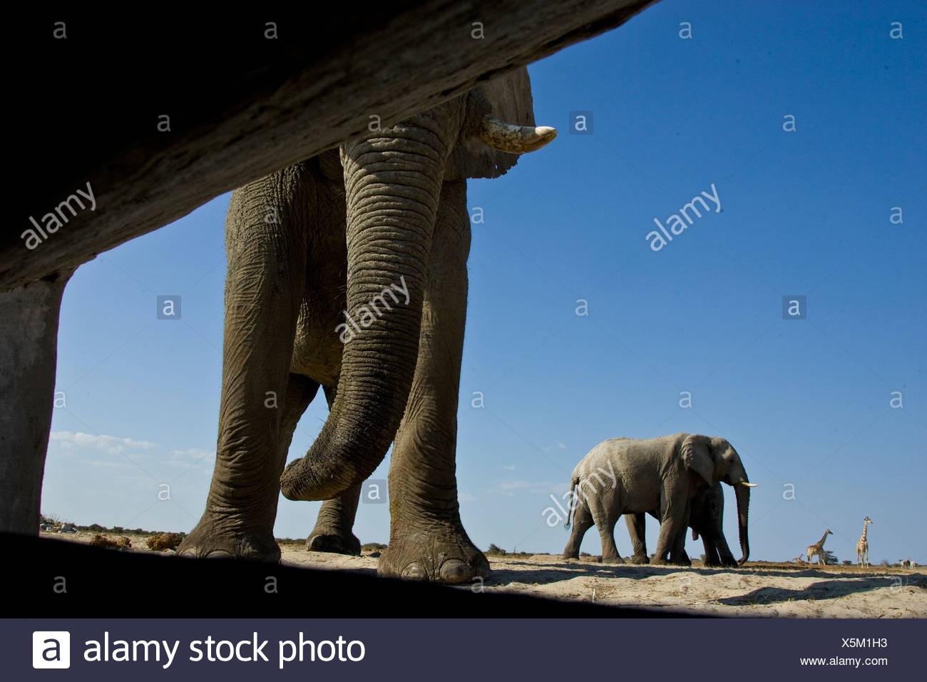Elefanten aus fotografiert im Inneren verbergen, Etosha Nationalpark, Namibia. Stockbild