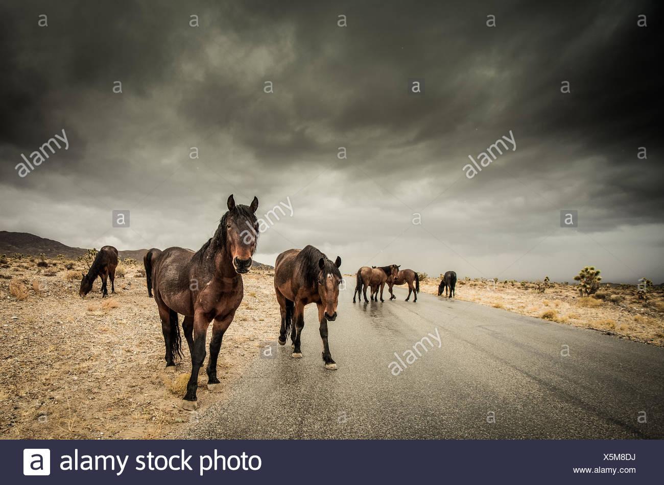 Herde von Pferden zu Fuß entlang der Straße Stockbild