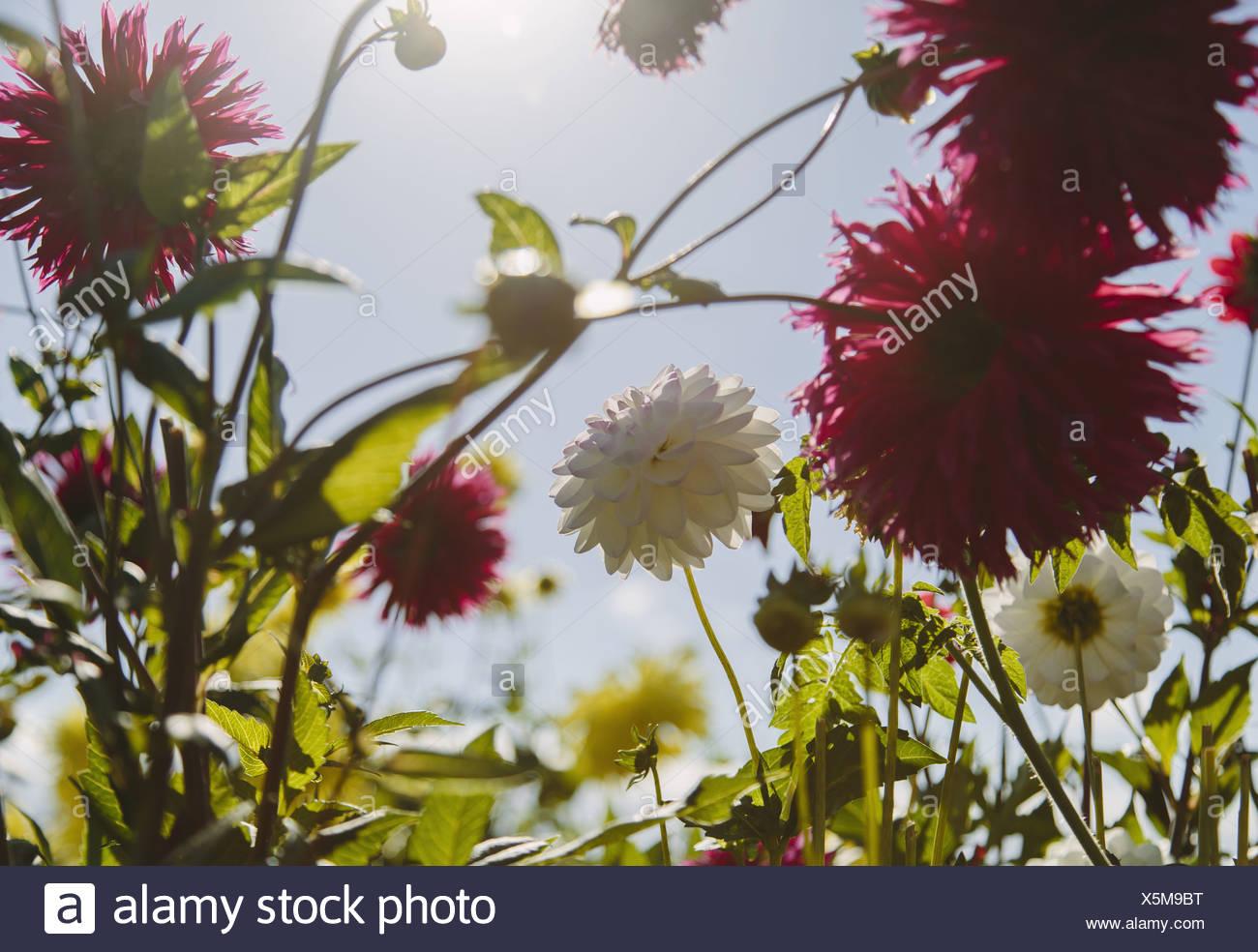 Seattle Washington USA blühen rote und weiße Dahliflowers im Garten Stockbild