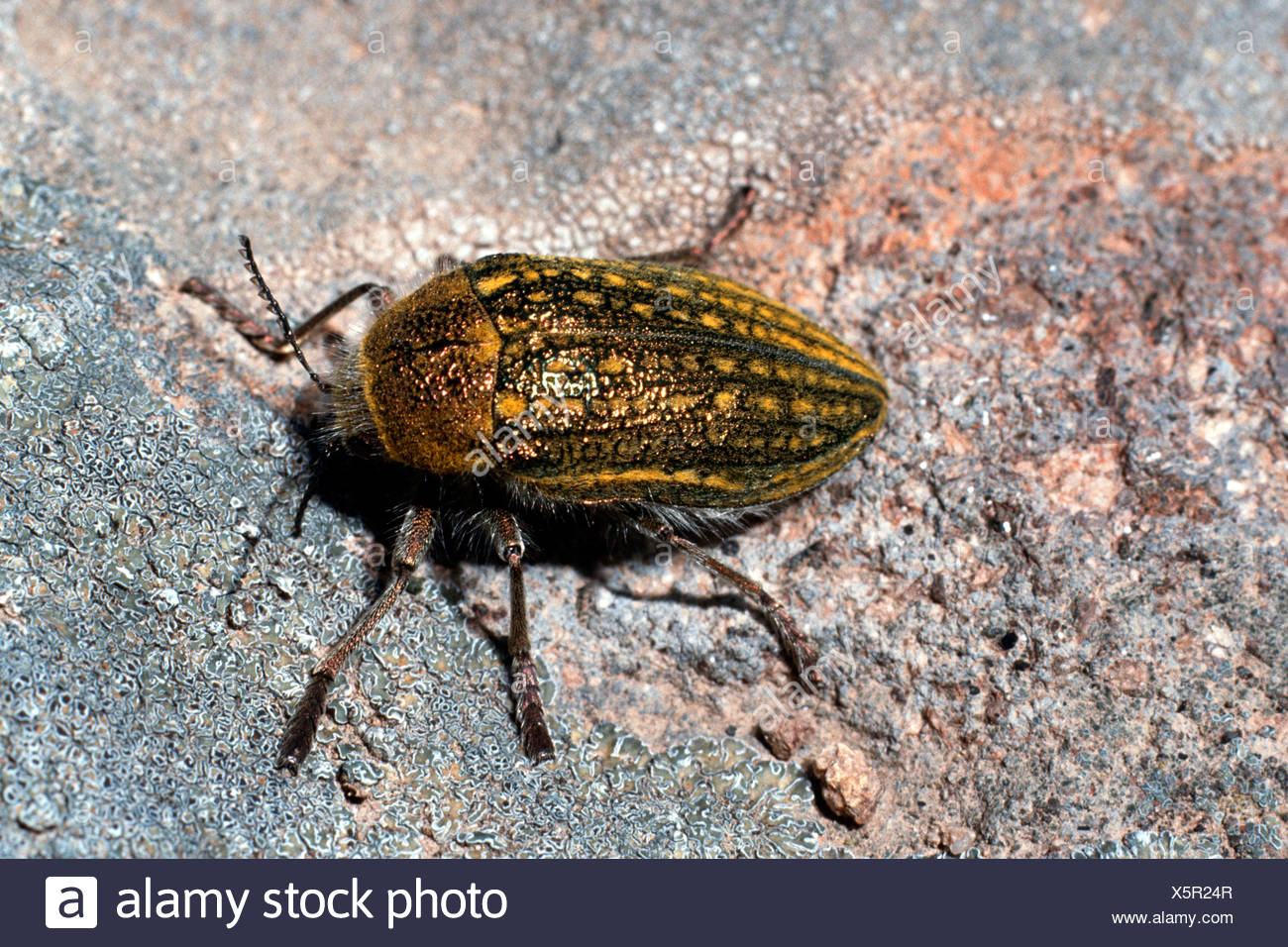 käfer im holz