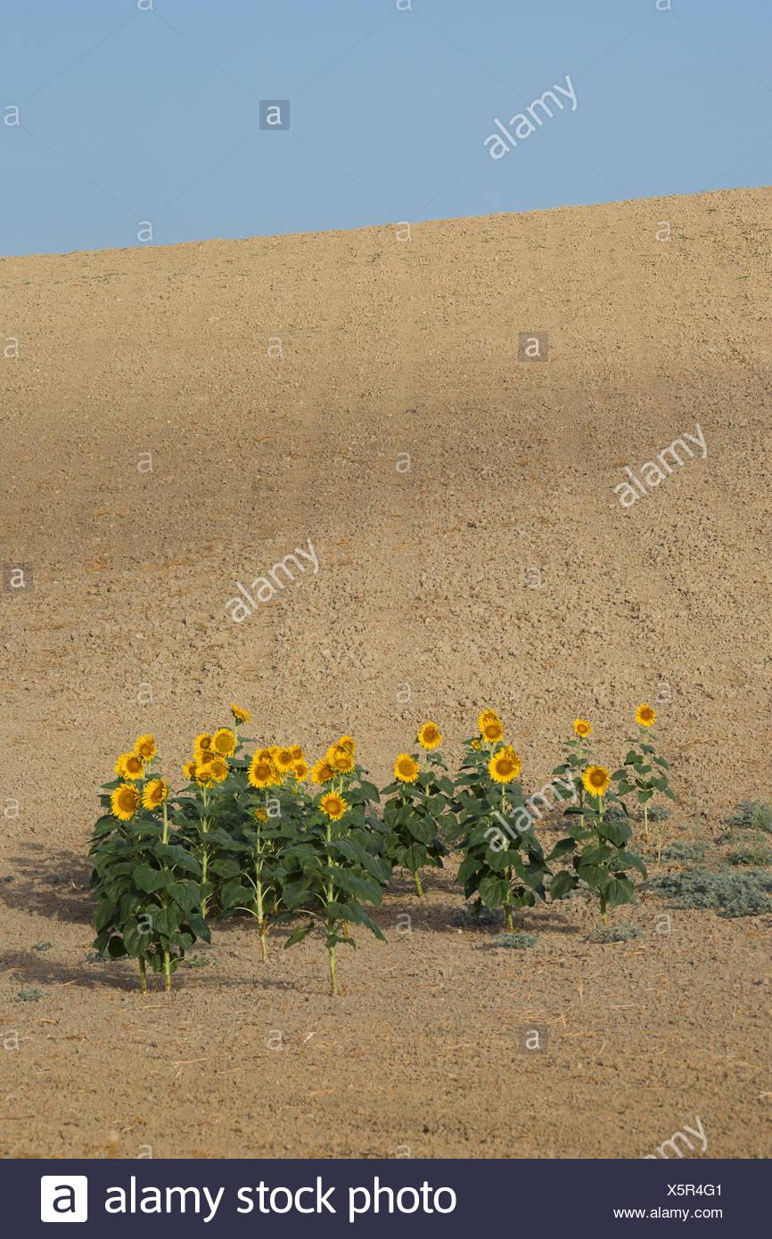 Cadiz Andalusien Blumen Haus Landschaft Spanien Europa Landwirtschaft Sommer Sonnenblumen Blumen gelb grün Boden Anlagenkonzepte Stockbild