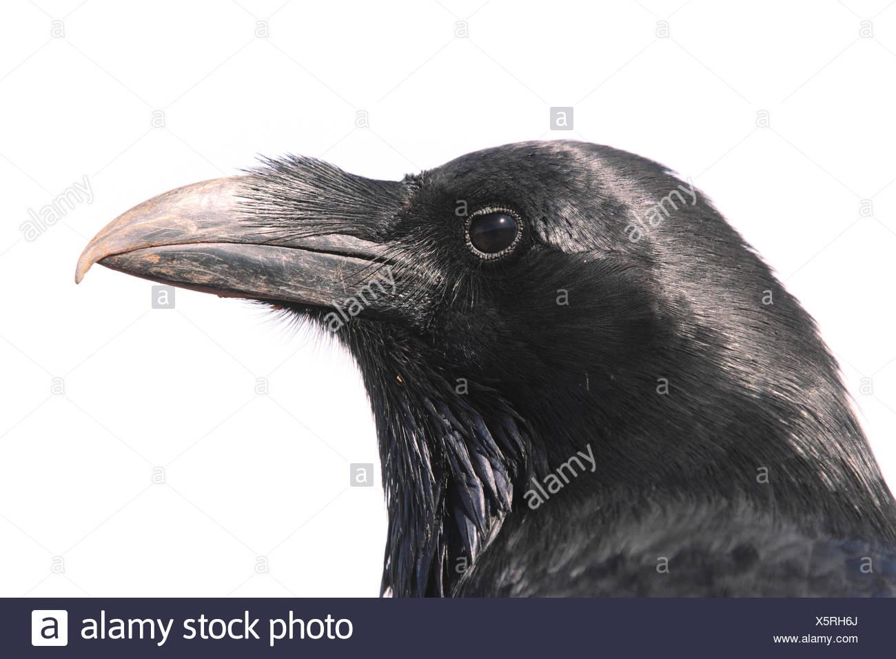 Porträt von einem Rabe, Corvus Corax. Stockbild