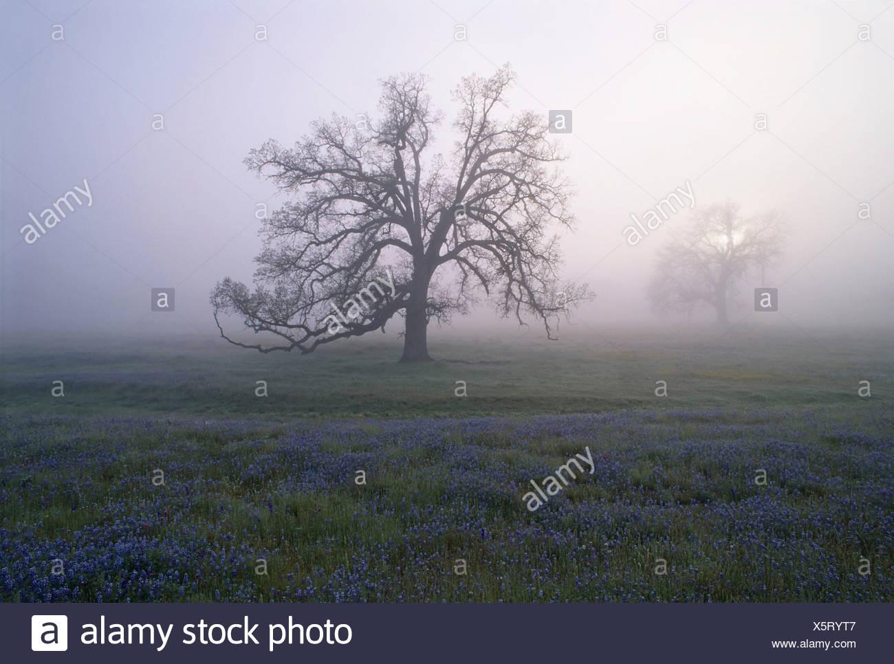 Eiche Bäume im Nebel des frühen Morgens in Kalifornien Stockbild