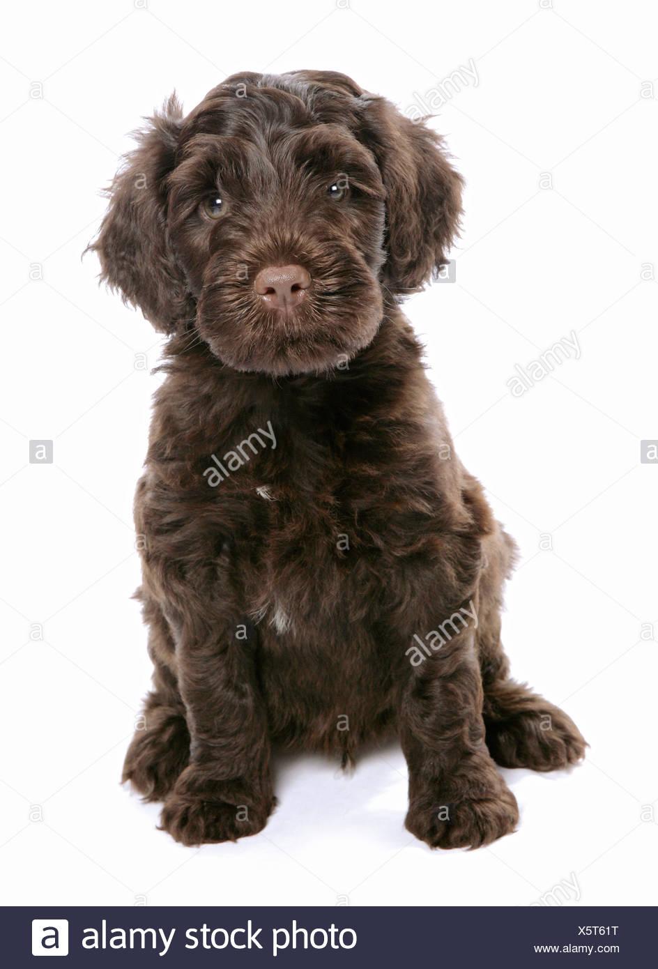Portugiesische Wasserhunde Stockfotos Und Bilder Kaufen Alamy