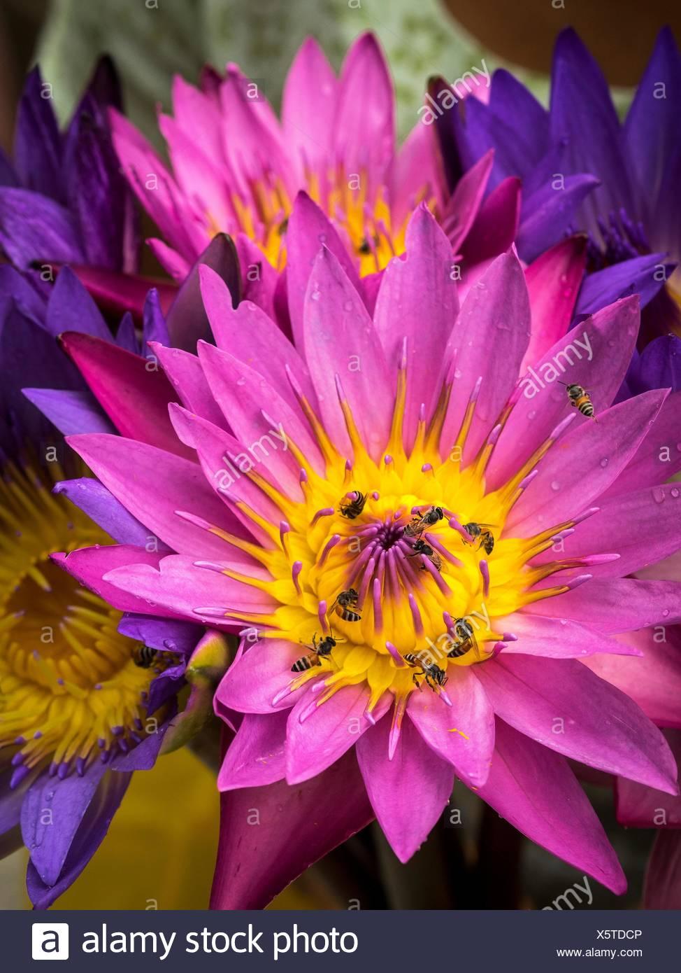 Bienen sammeln Pollen von lila Blüten in Mandalay. Stockbild