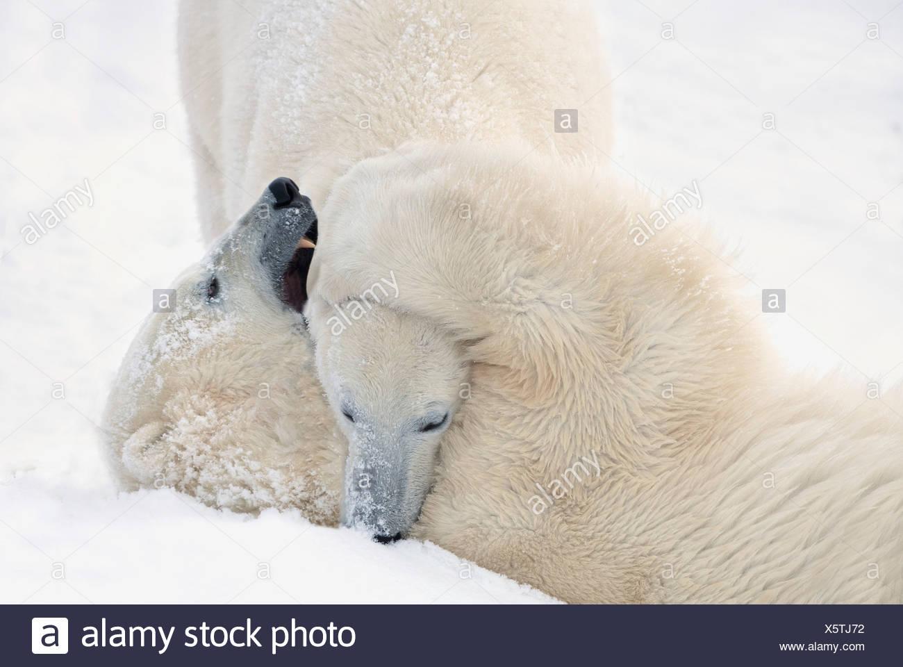 Zwei Eisbären spielen, kämpfen, wie sie warten, bis das Eis einfrieren über in der Hudson Bay; Churchill, Manitoba, Kanada Stockbild