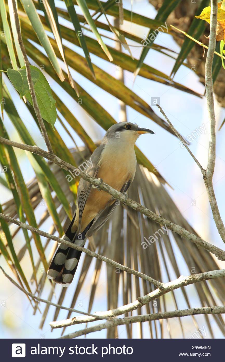 Eine Mangrove Kuckuck, Coccyzus Moll, hocken auf einem Ast. Stockbild