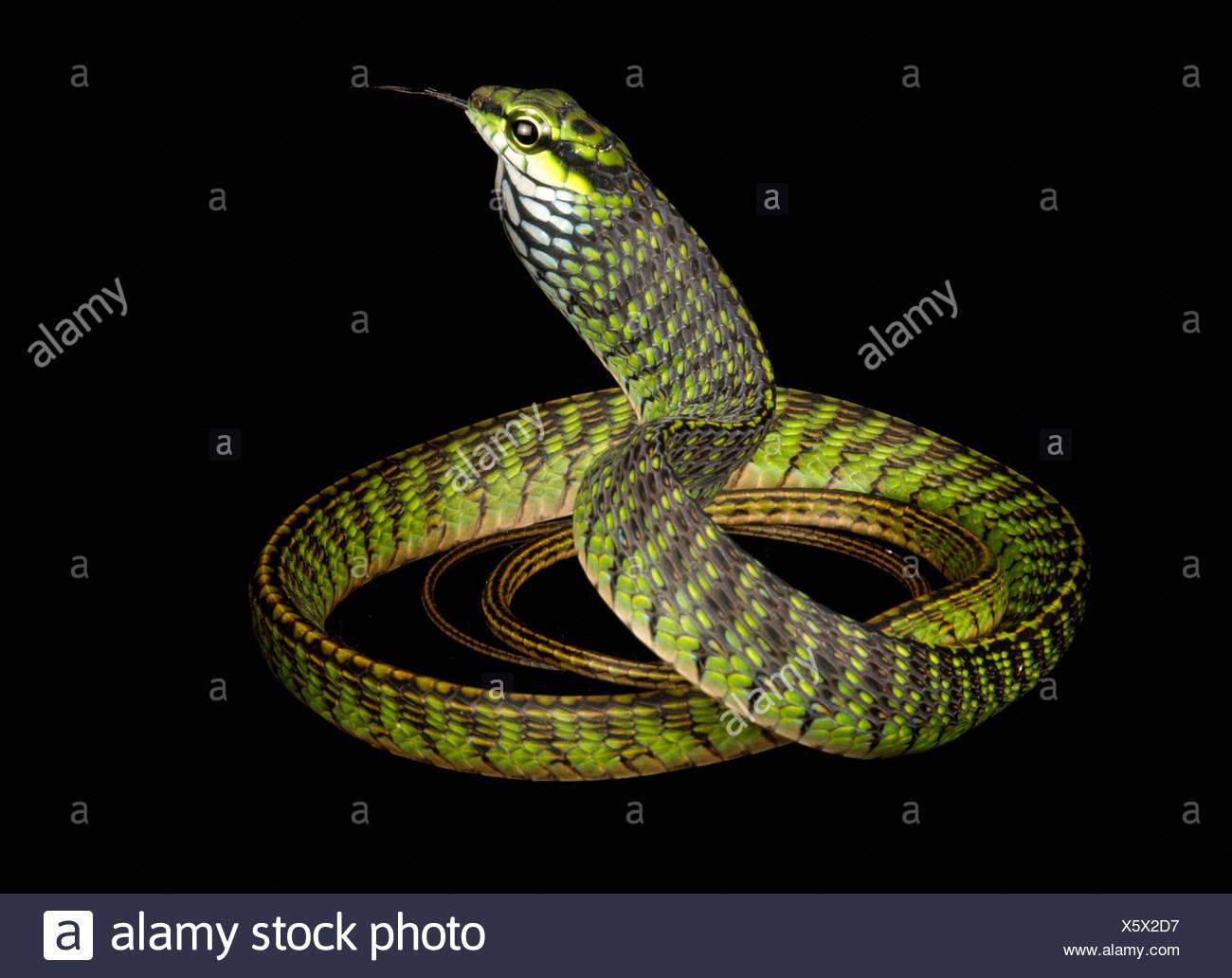 Eine große Augen grüne Baumschlange, Rhamnophis Aethiopissa. Stockfoto