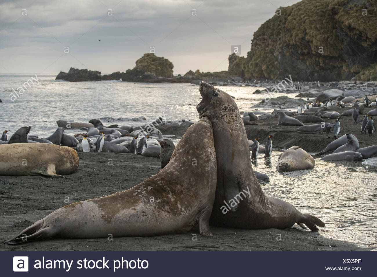 Erwachsenen männlichen südlichen See-Elefanten kämpfen entlang der Küste. Stockbild