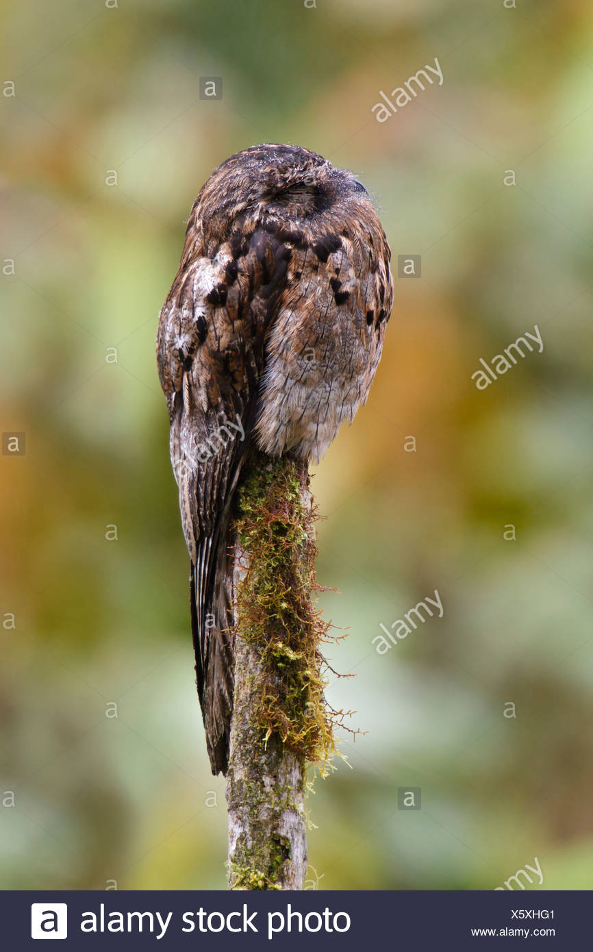 Häufig aber (Nyctibius früh) thront auf einem Ast in Ecuador. Stockbild