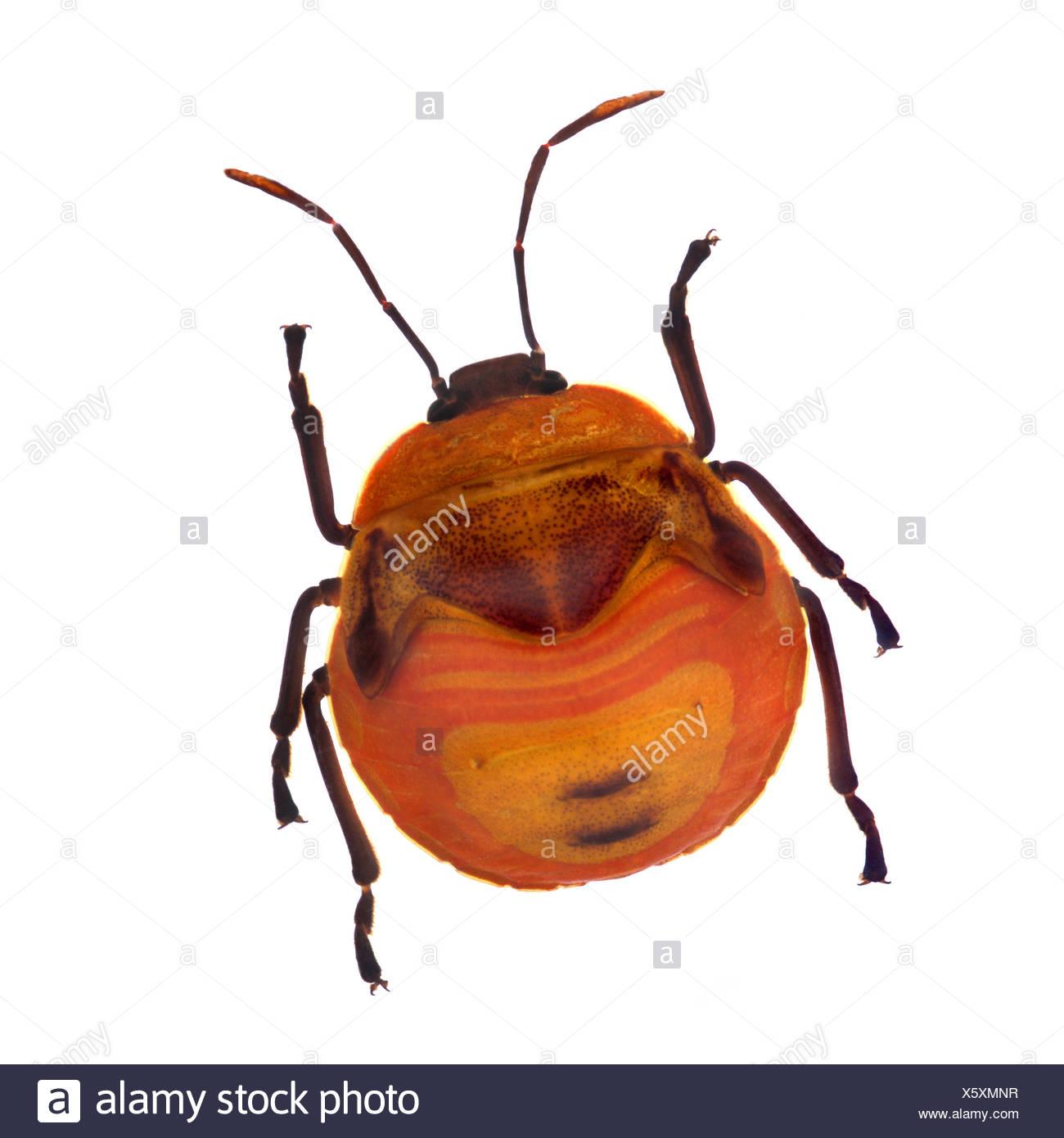 Henry Lin; Orange stinken Käfer Stockbild