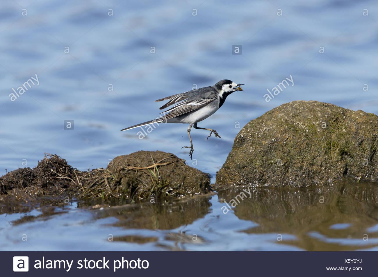 Trauerschnäpper Bachstelze (Motacilla Alba Yarrellii) Erwachsenfrau Fütterung fangen gelbe Dungfly (Scathophaga Stercoraria) über Wasser Stockbild