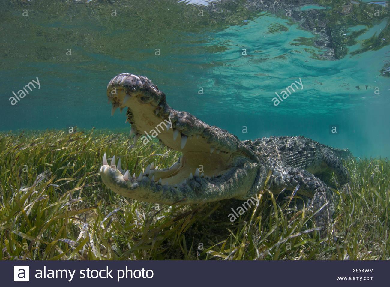 Unterwasser-Blick von Spitzkrokodil in flachen Gewässern von Chinchorro-Atoll-Biosphären-Reservat, Quintana Roo, Mexiko Stockbild