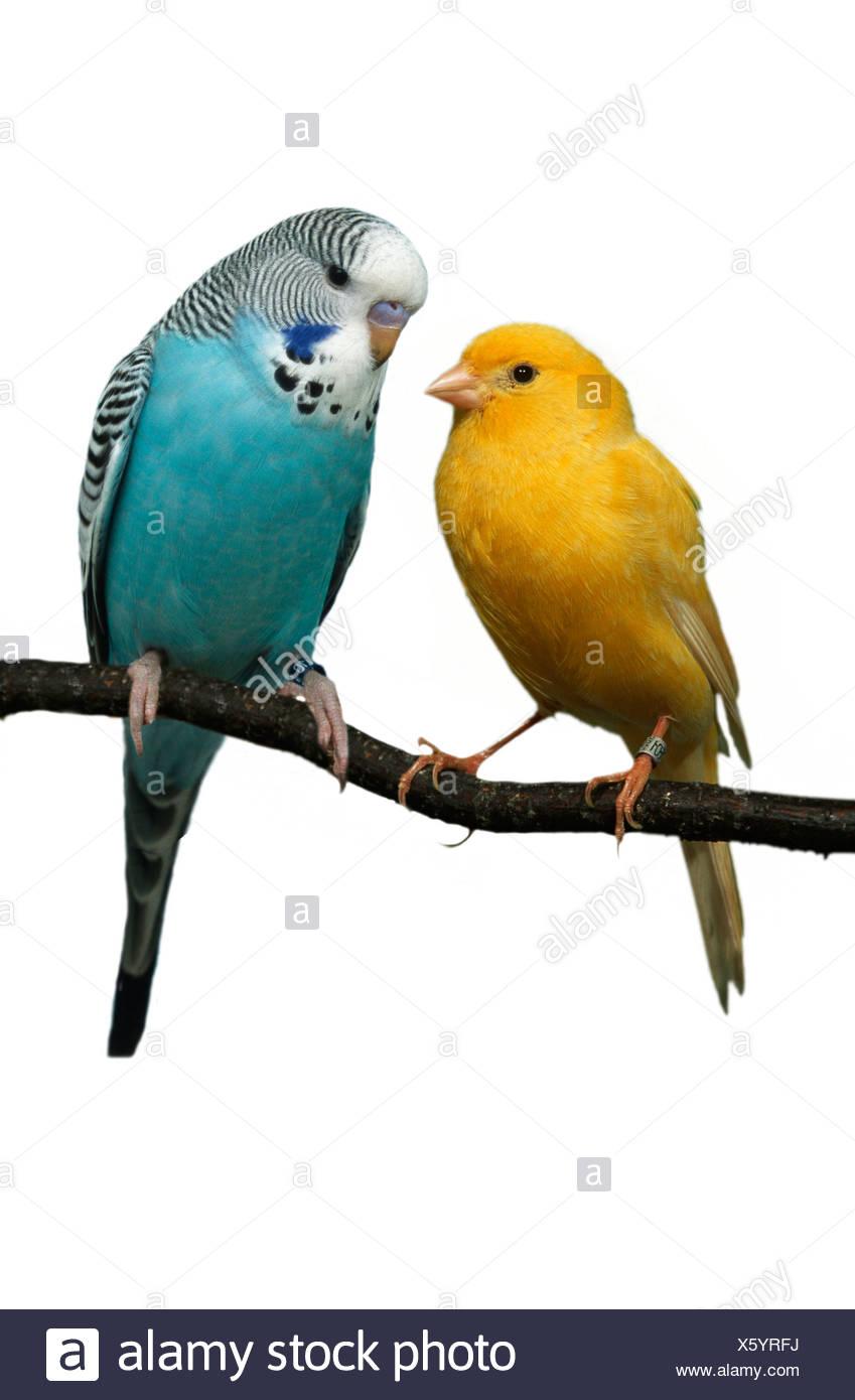 Wellensittich und Kanarischen (Melospittacus Undulatus) Wellensittich Und Kanarienvogel Tiere, Tiere, Vogel, Singvoegel, Singvögel, Stockbild