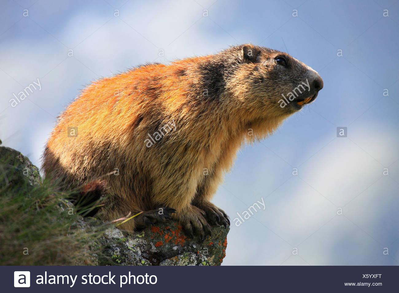 Alpine Murmeltier (Marmota Marmota), sitzt auf einem Felsvorsprung, bewachsen mit Flechten, Österreich, Nationalpark Hohe Tauern Stockbild