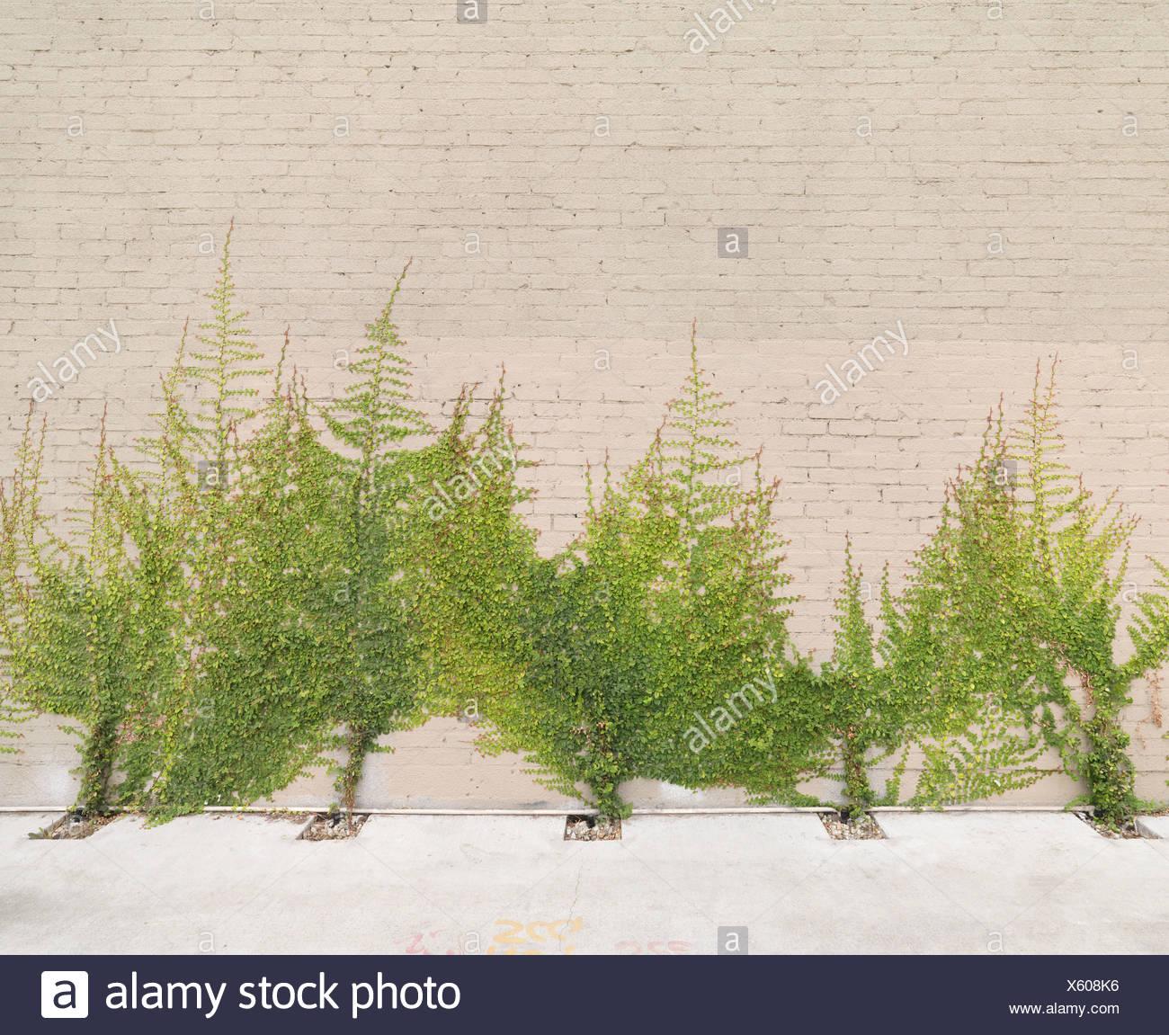 Baumartiger Efeu wächst an Wand Stockfoto