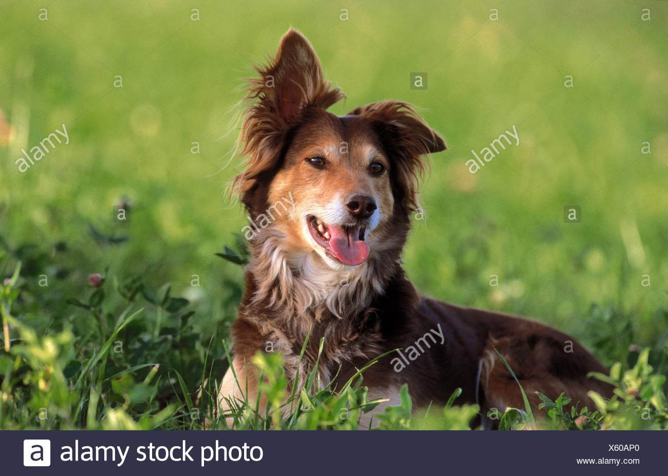 halbe Rasse Hund auf Wiese Stockbild