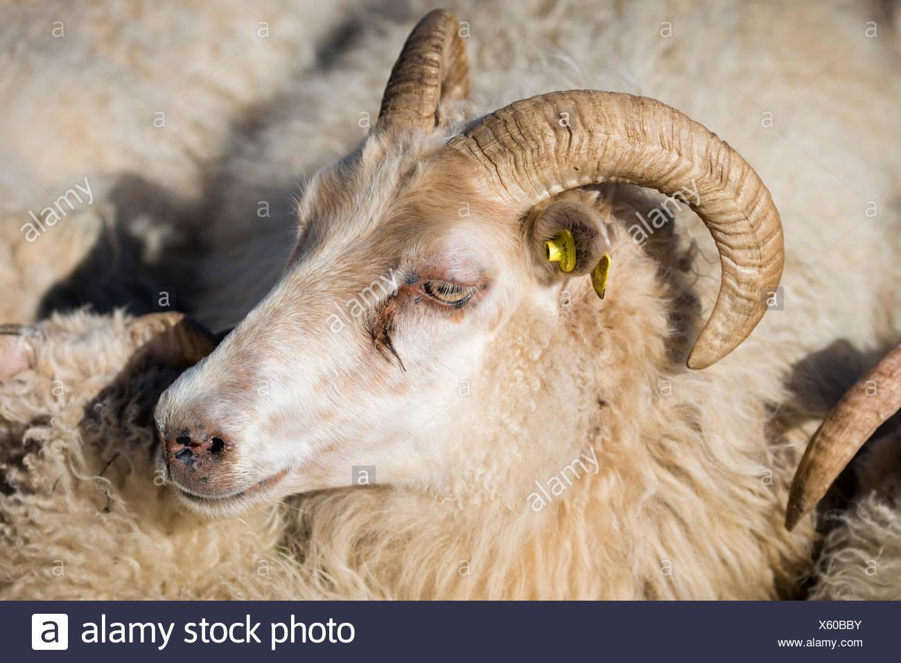 Schafe mit Ohrmarke, Schafe Transhumanz, in der Nähe von Höfn, Island Stockbild