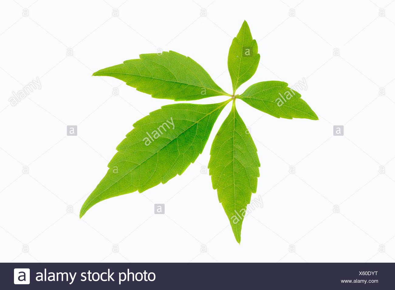Blatt von einem wildem Wein oder 5-blättrig, Ivy (Parthenocissus Quinquefolia), Bergkamen, Nordrhein-Westfalen, Deutschland Stockbild