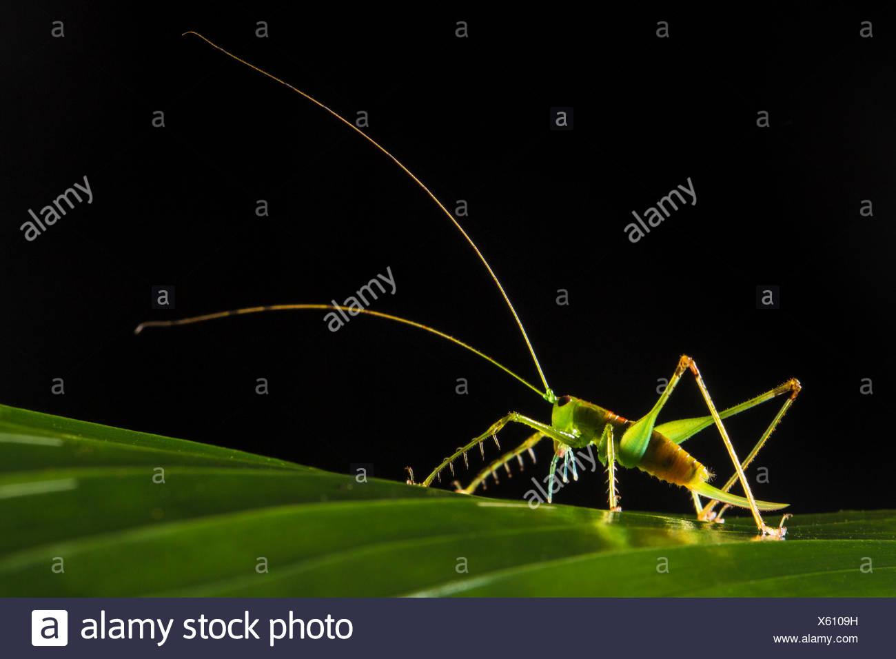 Räuberische Grashuepfer (Tettigoniidae) Hintergrundbeleuchtung nachts mit langen Antennen. Die Halbinsel Osa, Costa Rica. Stockbild