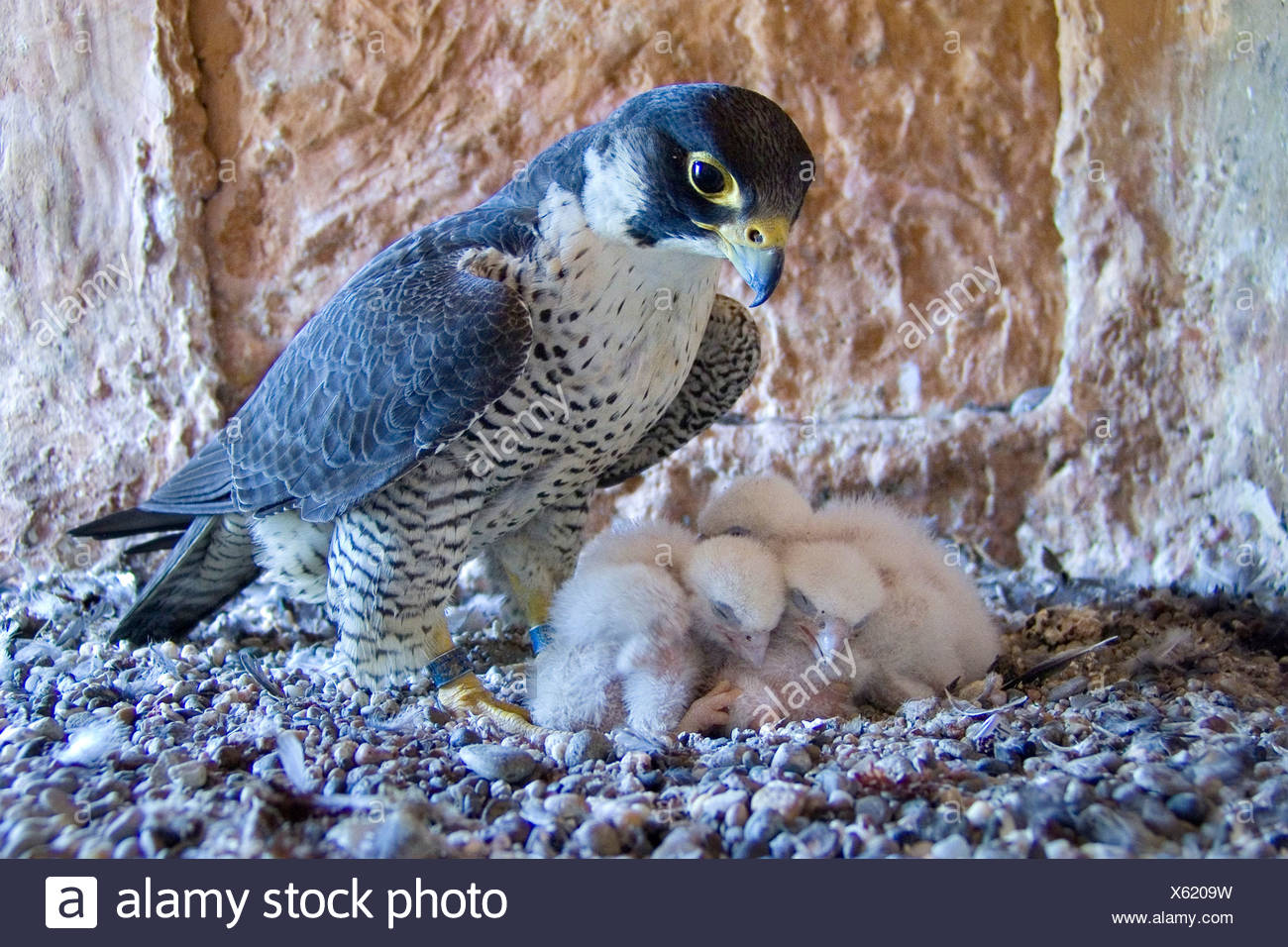 Wanderfalke (Falco Peregrinus), Weibchen mit Küken Stockbild