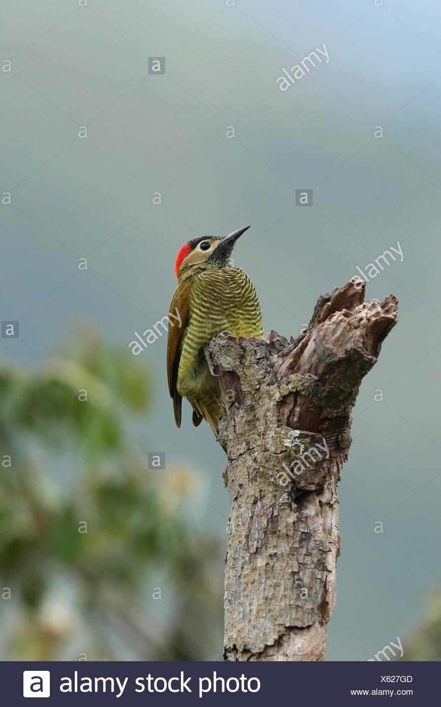 Golden-olive Specht, Colaptes rubiginosus, Sitzstangen auf einem toten Baum in der montanen Regenwaldes. Stockbild