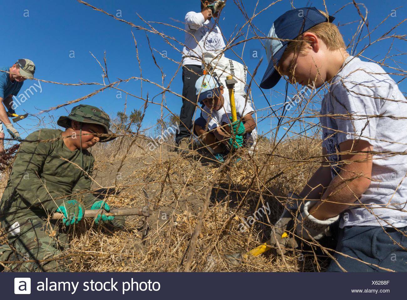 Freiwillige für die Bucht speichern Jäten invasive Arten an byxbee Park, Palo Alto, Ca. Die invasive Arten wurden Senf, Fenchel und stick Johanniskraut (dittrithia grabbiness. Stockbild