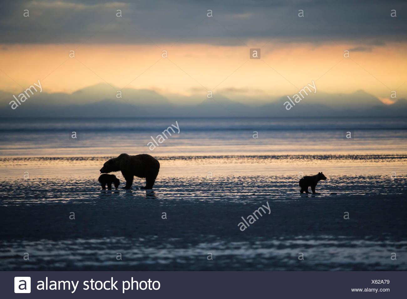 USA, Alaska, Lake Clark National Park and Preserve, Braunbär mit jungen auf der Suche nach Muscheln in See Stockbild