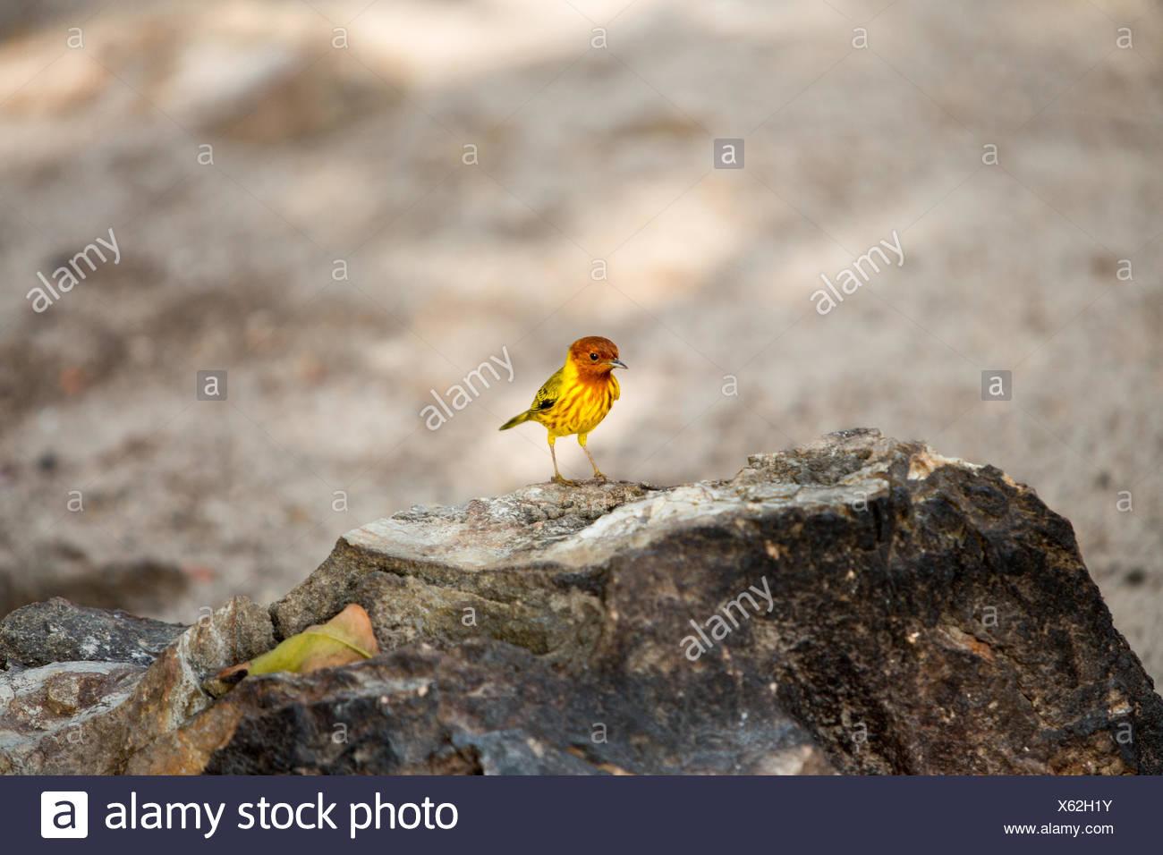 Auf der Insel, Isla Iguana iguana, eine Unterart ist oben auf einem Felsen thront. Stockbild