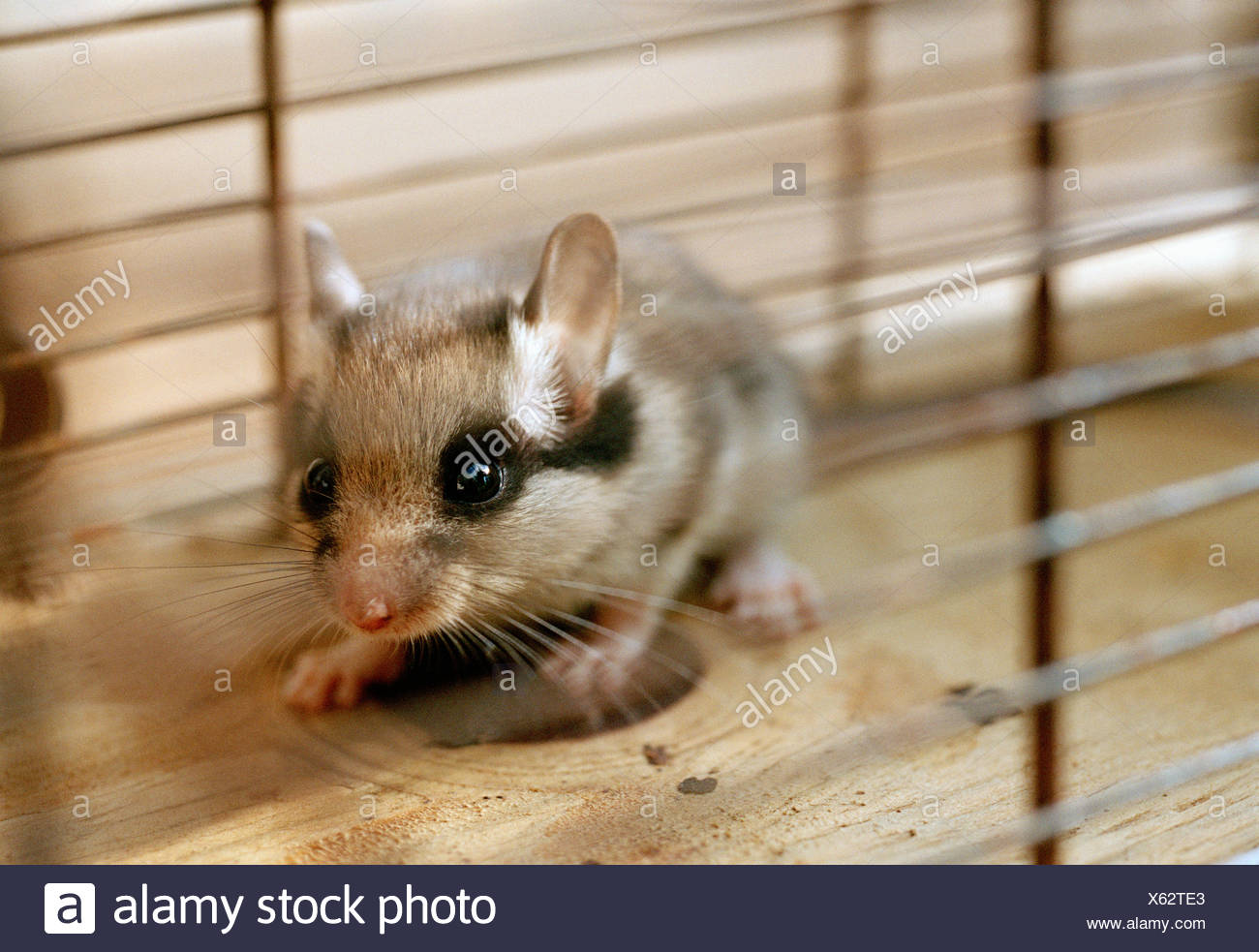 Haustier Maus