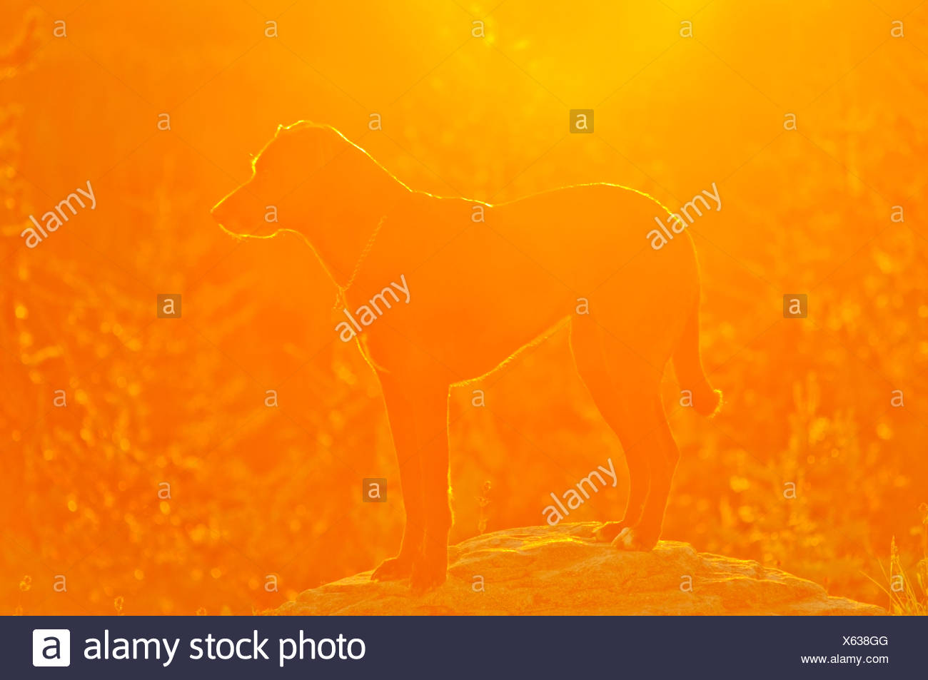 Oregon, Vereinigte Staaten von Amerika; Ein Hund, stehend auf einem Felsen bei Sonnenaufgang auf Mt. Hood Stockbild