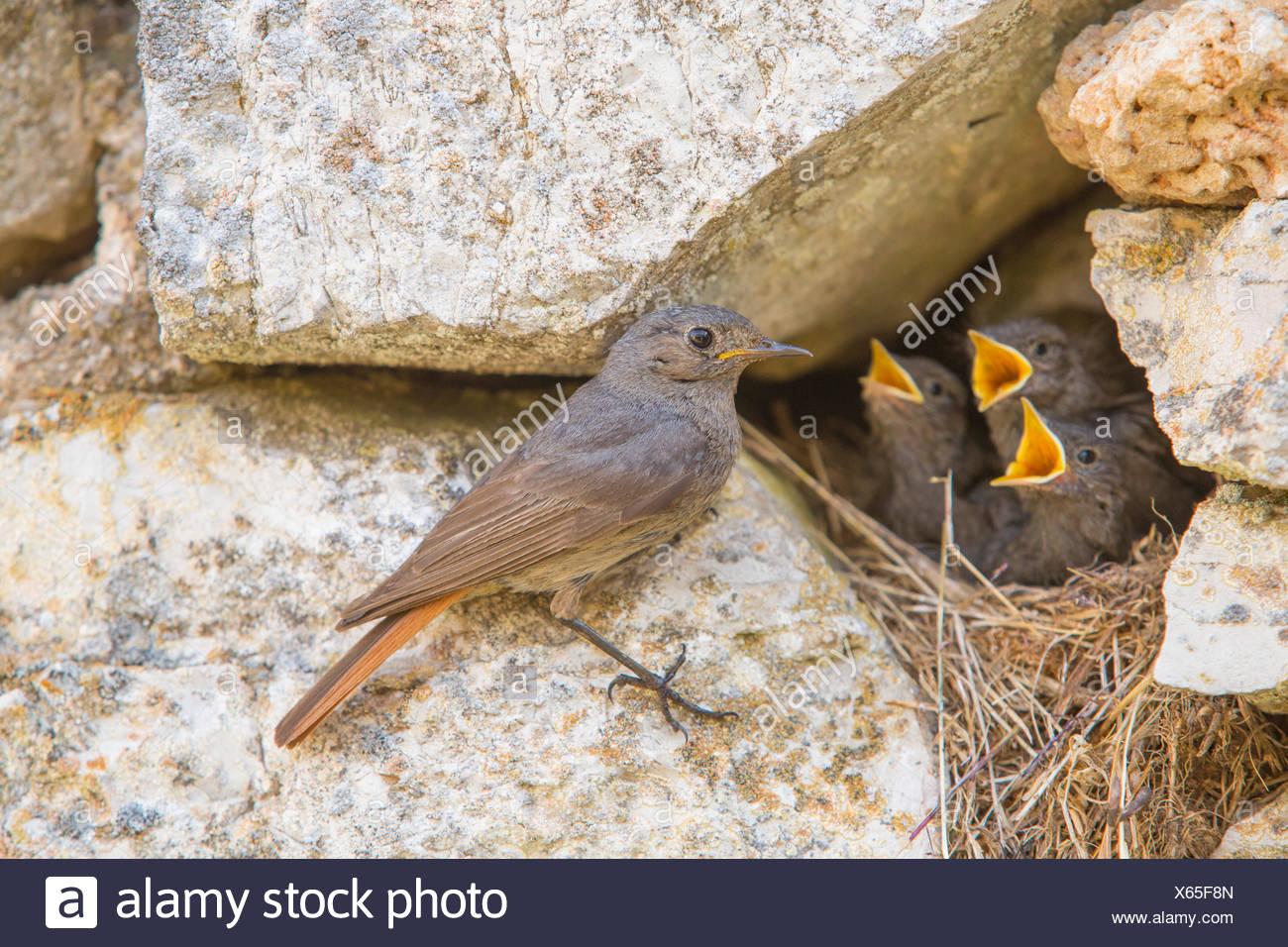 Blak Gartenrotschwänze, Vögel, Stockbild