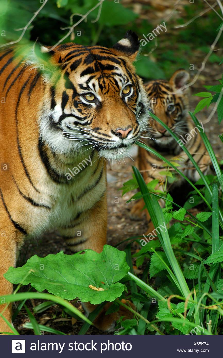 Sumatra-Tiger (Panthera Tigris Sumatrae), Weibchen mit einem Jungtier Stockbild