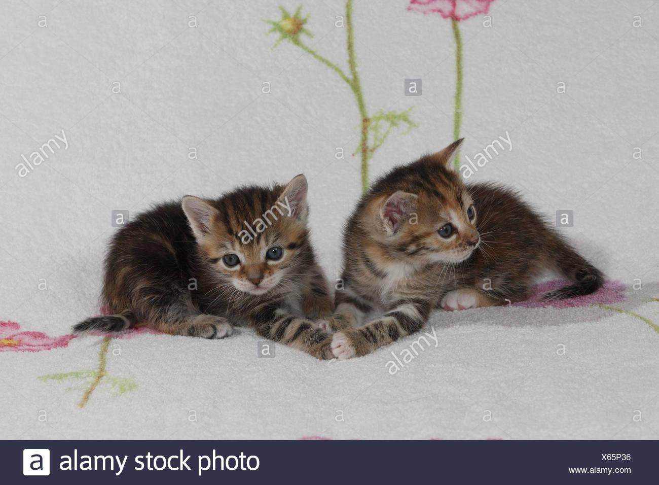 Katzen, junge, liegen, zusammen, Bett, Säugetiere, Haustiere, Tiere, kleine Katzen, Felidae, zähmt, Hauskatze, Jungtier, Kätzchen, zwei Geschwister, klein, unbeholfen, ungeschickt, süß, berühren, gestreift, Zusammenhalt, Liebe, Naht, Zweisamkeit, junge Tiere, Tierbabys, innen, Stockfoto