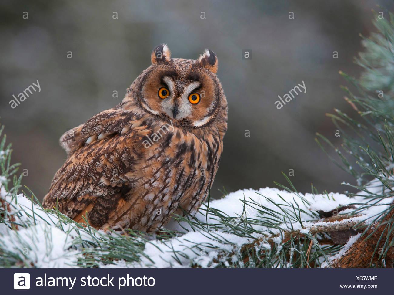 Waldohreule (Asio Otus), die Waldohr-Eule Sitzt Auf Einem Schneebedecktem Nadelbaumast, Deutschland, Bayern | Waldohreule (Asio Stockbild