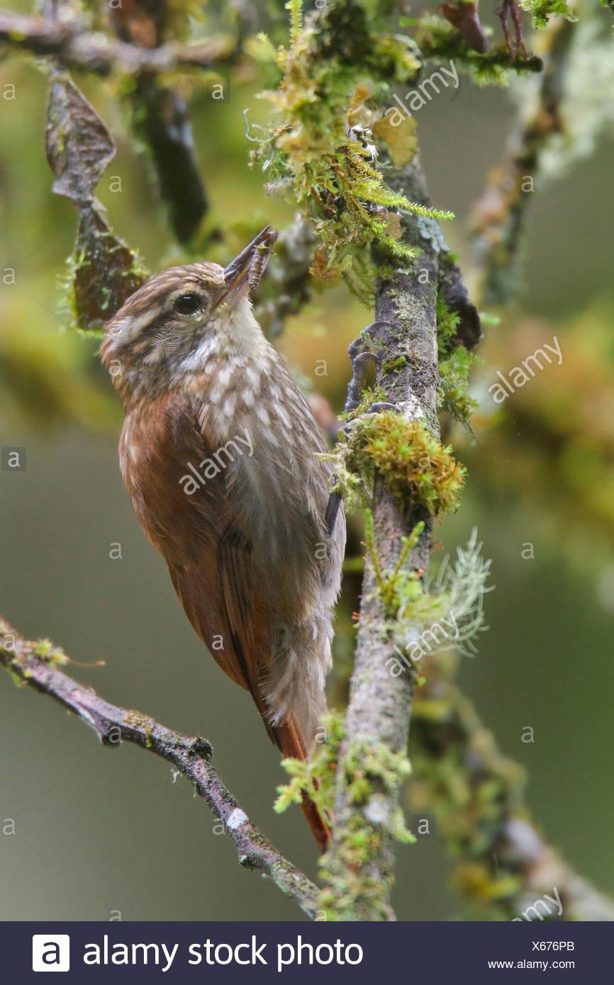 Gestreift Xenops (Xenops Rutilans) thront auf einem Ast in Peru. Stockbild