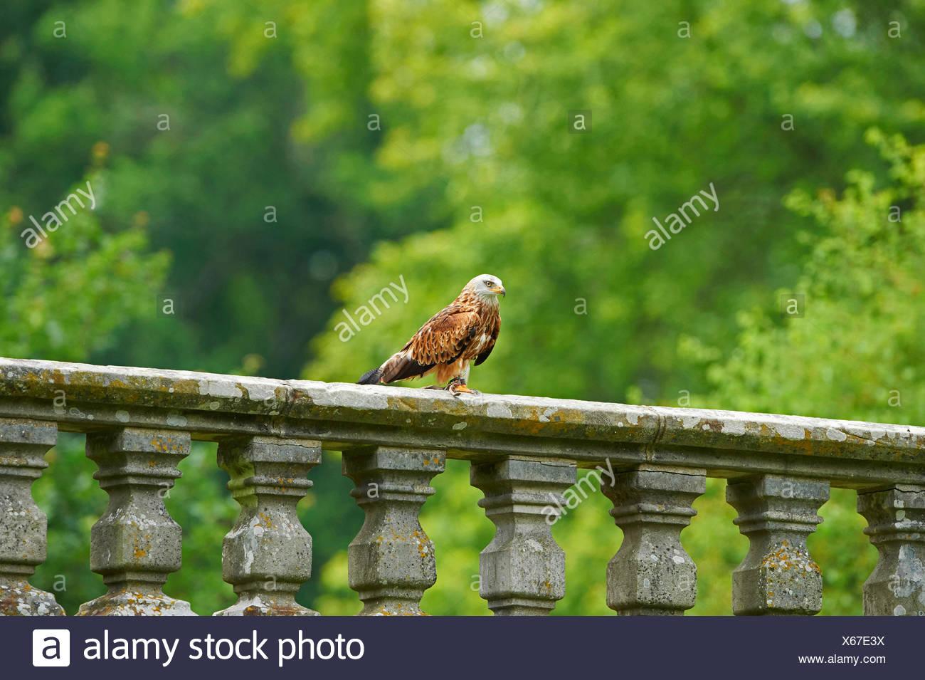 Rotmilan (Milvus Milvus), sitzt auf einem Geländer, Deutschland, Bayern Stockbild