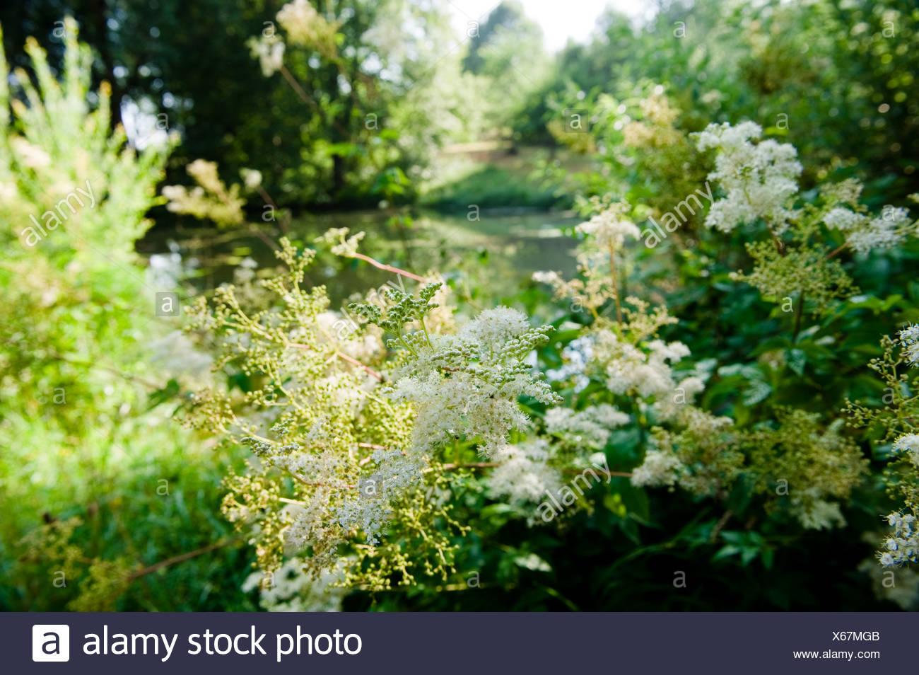 Nahaufnahme von Mädesüß Blüten, Wiesenblumen, Flora Stockbild