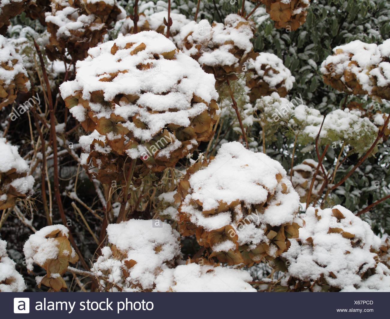 Schneedecke auf letzten Jahre Blumen auf eine Hortensie in mitten im winter Stockfoto