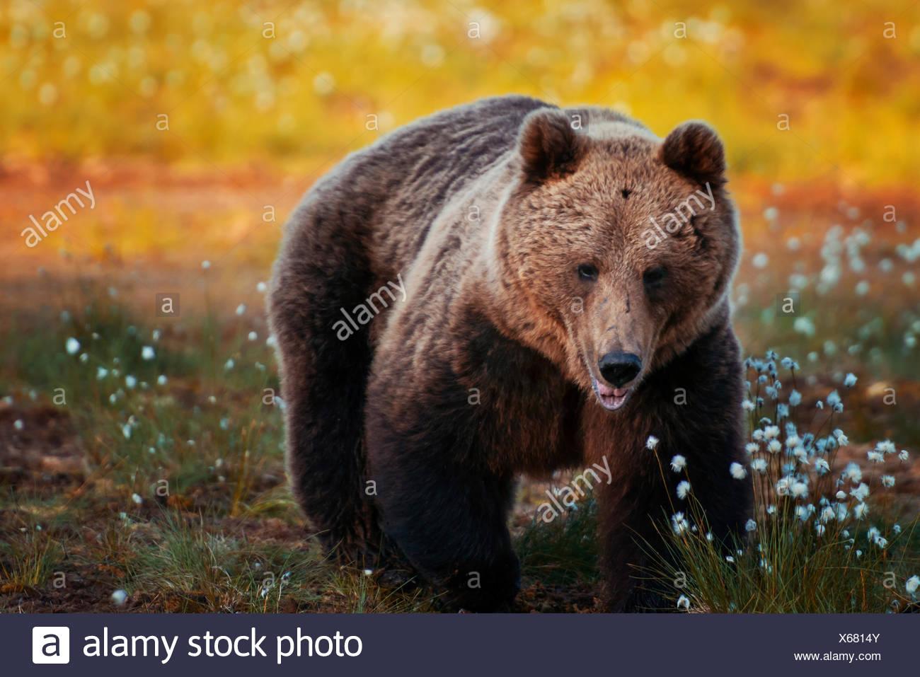 Braunbär im Wald, Finnland Stockfoto