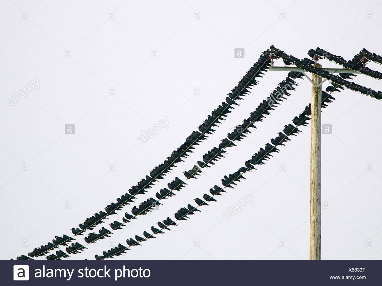 Saatkrähen Corvus Frugilegus Ankunft am Schlafplatz Buckenham Norfolk winter Stockbild