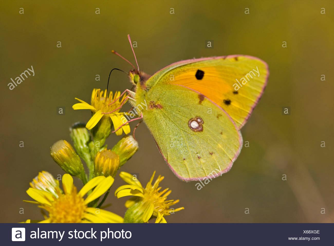 Blasse getrübt gelben Schmetterling (Colias Hyale), auf Blume Stockbild